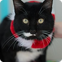 Domestic Shorthair Cat for adoption in Erwin, Tennessee - Lunar