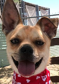 Terrier (Unknown Type, Medium)/Chihuahua Mix Dog for adoption in Casa Grande, Arizona - Snickers