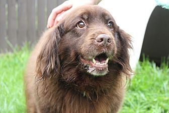 English Springer Spaniel/Chow Chow Mix Dog for adoption in Sparta, New Jersey - Mocha