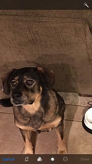 Labrador Retriever/Retriever (Unknown Type) Mix Dog for adoption in Chandler, Arizona - Mocha