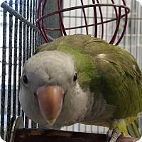 Adopt A Pet :: Penny - Grandview, MO