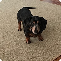 Adopt A Pet :: Bella - Louisville, CO