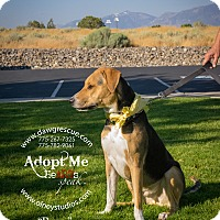 Adopt A Pet :: Percy - Gardnerville, NV