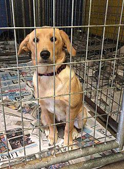 Labrador Retriever Mix Puppy for adoption in Washington, D.C. - Bailee (Has Application/Needs Foster)