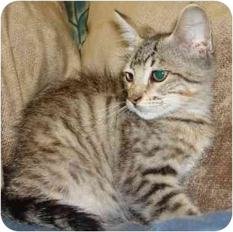 Domestic Shorthair Cat for adoption in Brenham, Texas - Sammy