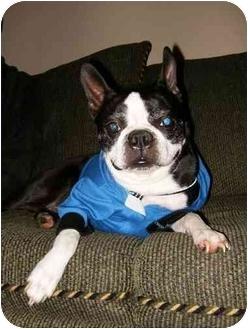 Boston Terrier Dog for adoption in Juniper Mountain, Nova Scotia - WALTER