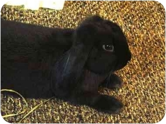 Lop, French Mix for adoption in Edinburg, Pennsylvania - Casey