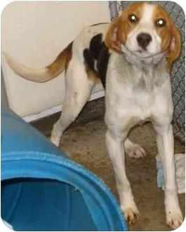 Coonhound Dog for adoption in Mt. Vernon, Illinois - Thelma