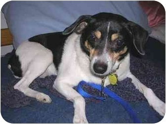 Rat Terrier Mix Dog for adoption in Portland, Oregon - Lady