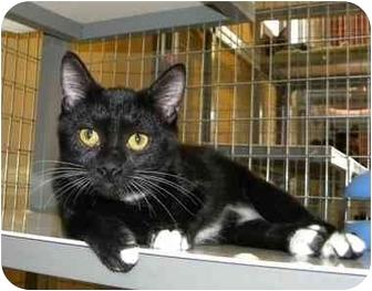 Domestic Shorthair Kitten for adoption in Houston, Texas - Betty