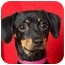 Photo 1 - Miniature Pinscher Mix Dog for adoption in Anna, Illinois - MOLLY