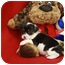 Photo 4 - Rat Terrier/Terrier (Unknown Type, Small) Mix Puppy for adoption in Broomfield, Colorado - Tanqueray