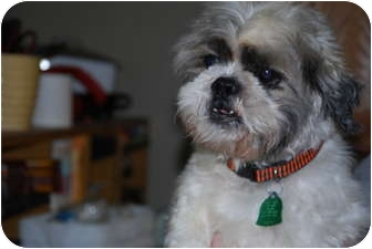 Shih Tzu Dog for adoption in New Milford, Connecticut - Fred