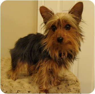 Yorkie, Yorkshire Terrier Dog for adoption in Fairmount, Georgia - Suki