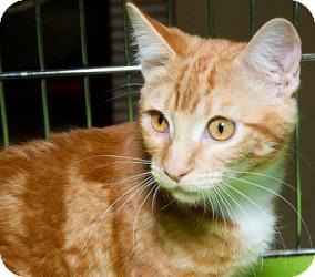 Domestic Shorthair Cat for adoption in Sacramento, California - Ricky M