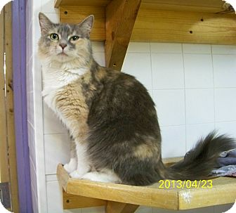 Domestic Mediumhair Cat for adoption in Dover, Ohio - Bella