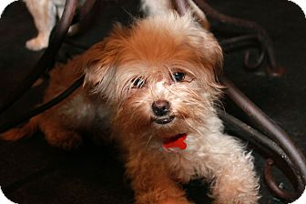 Brussels Griffon/Poodle (Miniature) Mix Dog for adoption in Los Angeles, California - Andie