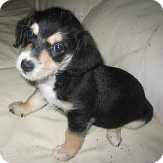 Jack Russell Terrier/Chihuahua Mix Puppy for adoption in Chandler, Arizona - Trinket