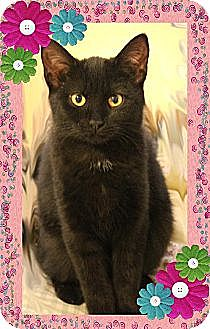 Domestic Shorthair Cat for adoption in Richmond, Virginia - Nera