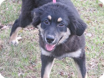 Flat-Coated Retriever/Border Collie Mix Puppy for adoption in Plainfield, Connecticut - Miss Snuggle Bear