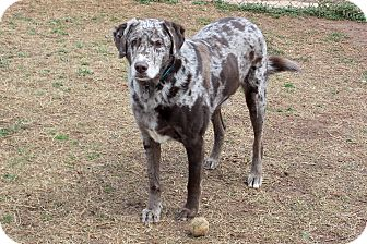 Labrador Retriever/Catahoula Leopard Dog Mix Dog for adoption in Marietta, Georgia - Sy