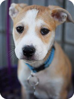 Shepherd (Unknown Type)/Terrier (Unknown Type, Medium) Mix Puppy for adoption in Detroit, Michigan - Zorra-Pending!