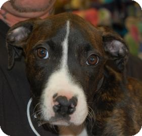 Pit Bull Terrier Mix Puppy for adoption in Brooklyn, New York - Travis