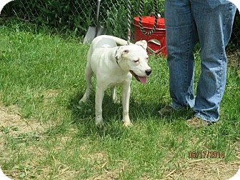 American Pit Bull Terrier Mix Puppy for adoption in Flint, Michigan - Cloud