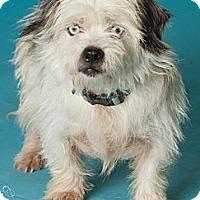 Adopt A Pet :: Sinatra - ice blue eyes! - Phoenix, AZ