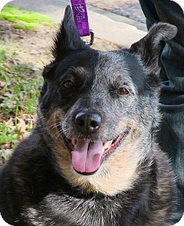 Australian Cattle Dog Dog for adoption in Texico, Illinois - Patches (Patsy)