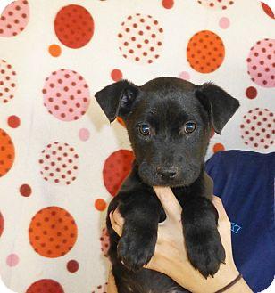 Golden Retriever/Labrador Retriever Mix Puppy for adoption in Oviedo, Florida - keetu