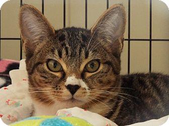 Domestic Shorthair Kitten for adoption in Grants Pass, Oregon - Sunshine