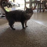 Domestic Mediumhair Cat for adoption in Mission Viejo, California - Gucci
