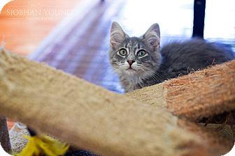 Domestic Longhair Kitten for adoption in Fredericksburg, Virginia - Smokey