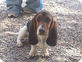 Basset Hound Mix Dog for adoption in Newburgh, Indiana - Lady