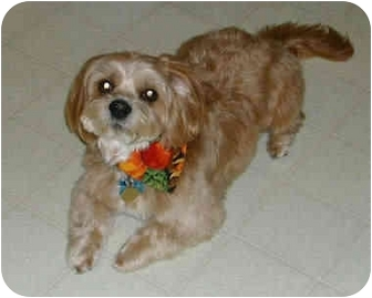 Lhasa Apso Mix Dog for adoption in Proctorville, Ohio, Ohio - Benji