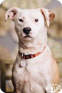 Pit Bull Terrier/Pointer Mix Dog for adoption in Portland, Oregon - Derek