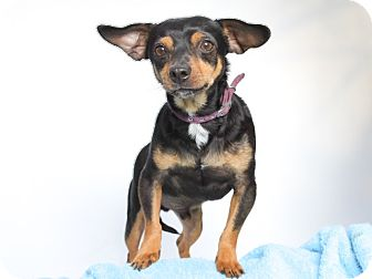 Miniature Pinscher/Dachshund Mix Dog for adoption in Acton, California - Remy