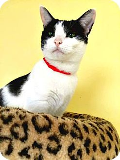 Domestic Shorthair Cat for adoption in Oak Park, Illinois - Lorraine