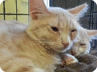 Domestic Mediumhair Cat for adoption in Phoenix, Arizona - Creamsicle