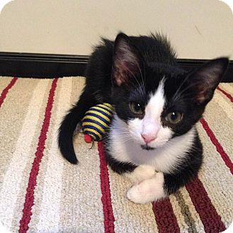 Domestic Shorthair Kitten for adoption in Nashville, Tennessee - Gracie B