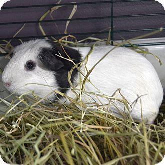 Guinea Pig for adoption in Wheaton, Illinois - Friendly