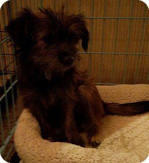 Shih Tzu Mix Puppy for adoption in Chicopee, Massachusetts - Priscilla