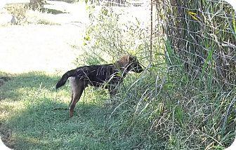 German Shepherd Dog Mix Dog for adoption in East Hartford, Connecticut - Archer- Adoption pending