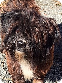Poodle (Miniature)/Shih Tzu Mix Dog for adoption in Pennigton, New Jersey - Peluche