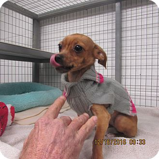 Chihuahua/Dachshund Mix Dog for adoption in BLACKWELL, Oklahoma - Candy Cane