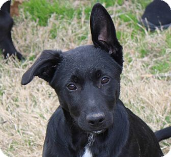 Labrador Retriever Mix Puppy for adoption in kennebunkport, Maine - Riggs - in Maine