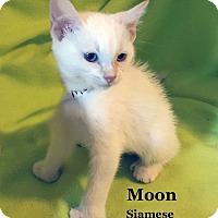 Adopt A Pet :: Moon - Bentonville, AR