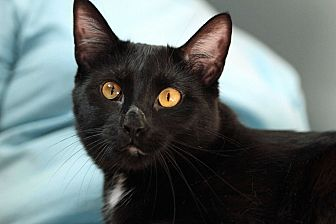 Domestic Shorthair Cat for adoption in St. Louis, Missouri - Bubba the Luvva