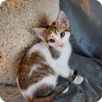 Domestic Shorthair Kitten for adoption in Hammond, Louisiana - Dustin